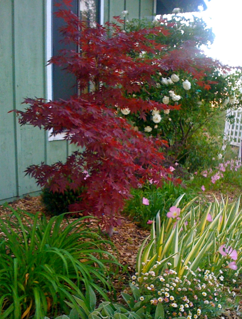 My Japanese Maple at Blue Oak Cottage