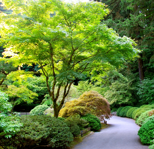 Plant spotlight japanese maples for Garden design with japanese maple