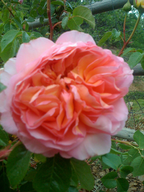 Rosa 'Abraham Darby' growing at Blue Oak Cottage
