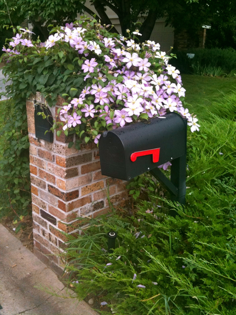 A beautiful Clematis brightens up the mailbox.