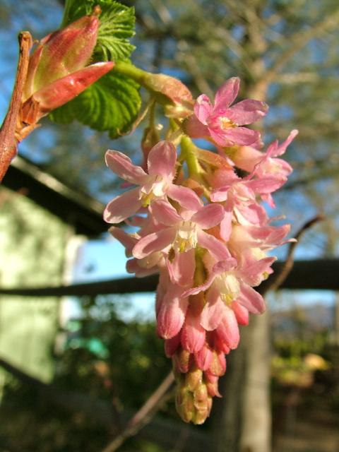 Flowering Currant is a California native that flourishes in dappled light