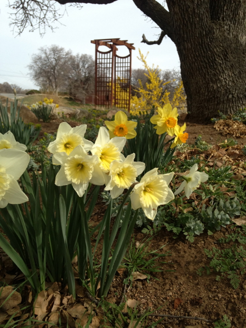 Multi-colord daffodils shine, with Golden Forsythia in the background.