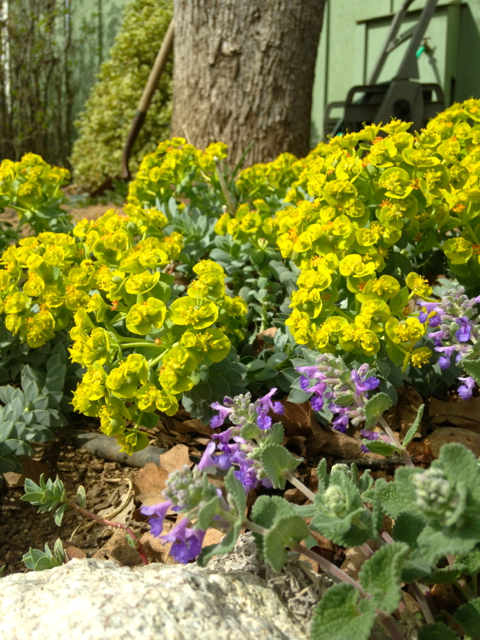 Spring blooming Catmint and the chartreus blooms of Myrtle Spurge make a glorious display!