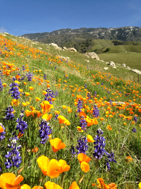 California native Poppies and Lupines along side the road to Arvin, near Tehachapi