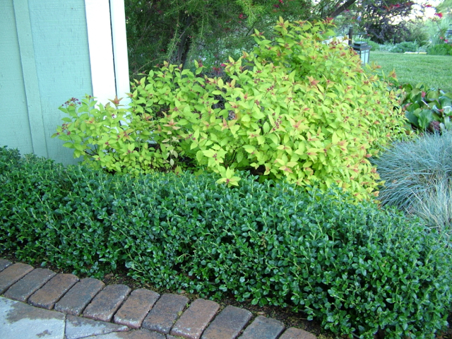 Germander hedge1