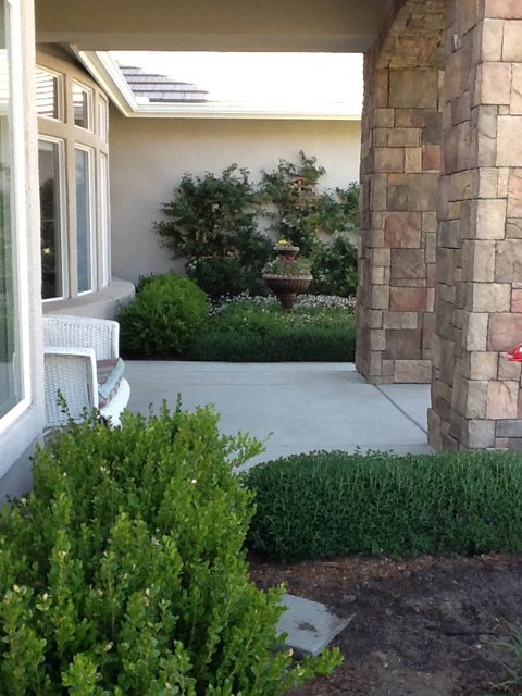 In this photo you can see the Germander in the foreground, on the right, and compare it to the Boxwood on the left.